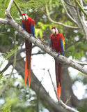 Scarlet macaw pair tree, carate, costa rica. Mating pair of scarlet macaws sitting in beach almond tree, carate, golfo dulce, costa rica near panama border. red Royalty Free Stock Photo