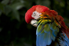 Scarlet Macaw Parrot. A portrait of a Scarlet Macaw Parrot. They are large colorful parrots that live in Central and South America. It is about 81 centimetres ( Royalty Free Stock Photos