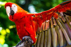 Scarlet Macaw parrot bird Royalty Free Stock Photo
