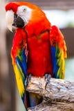 Scarlet Macaw parrot bird Royalty Free Stock Image