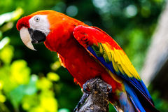 Scarlet Macaw parrot bird. The Scarlet Macaw (Ara macao) is a large, red, yellow and blue South American parrot, a member of a large group of Neotropical parrots Royalty Free Stock Images