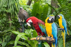 Scarlet Macaw parrot and  blue-and-yellow macaw (Ara ararauna) Stock Photos