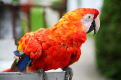 Scarlet macaw parrot close up Stock Photography