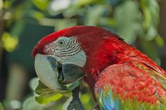 Scarlet Macaw parrot eat Royalty Free Stock Photos