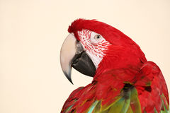 Scarlet macaw parrot head shot. Colorful scarlet macaw parrot closeup head shot Stock Photography