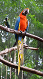 Scarlet Macaw Parrot Royalty Free Stock Photos