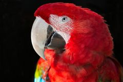 Scarlet Macaw Parrot Portrait Royalty Free Stock Photography