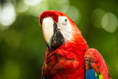 Scarlet Macaw parrot Stock Photo