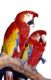Scarlet Macaw, Parrot Stock Photos