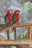 Scarlet macaw parrots on the branches royalty free stock photography