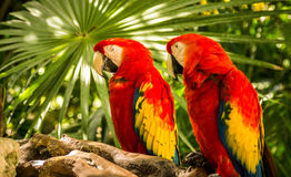Scarlet Macaw parrots. Pair of Scarlet Macaw parrots somewhere in Mexico Royalty Free Stock Photo