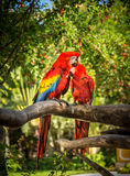 Scarlet macaw parrots. Portrait of colorful scarlet macaw parrots somewhere in Mexico Stock Images