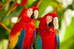 Scarlet macaw parrots. On the tree, Bali bird park, Indonesia Royalty Free Stock Photo