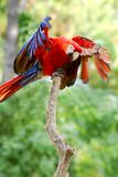 Scarlet Macaw on perch Royalty Free Stock Photos