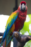 Scarlet Macaw on Perch Stock Image