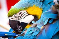 Scarlet Macaw on Perch. Hello Parrot. Stock Photo
