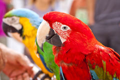 Scarlet Macaw on Perch. Hello Parrot. Royalty Free Stock Image