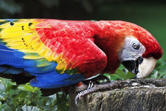 Scarlet Macaw Perch on Trunk Eating Seeds Royalty Free Stock Images