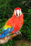 Scarlet Macaw Perched royalty free stock photos