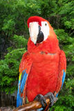 Scarlet Macaw Perched Royalty Free Stock Images