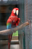 Scarlet macaw perching Royalty Free Stock Photos