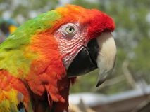 Scarlet macaw. Portrait of a scarlet macaw Royalty Free Stock Photo