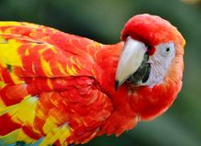 Scarlet Macaw. Profile photo of a scarlet macaw Royalty Free Stock Photos