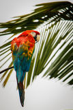 Scarlet Macaw in the rainforest in Ecuador. Scarlet Macaw parrot in the rainforest in Ecuador stock photography