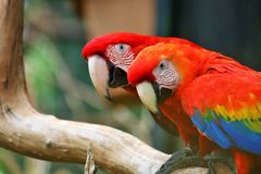 Scarlet Macaw and Red-and-green macaw Royalty Free Stock Images