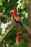Scarlet Macaw. A Scarlet Macaw at the Santuario De Lapas Natura in Costa Rica Royalty Free Stock Photo