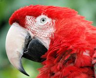 SCARLET MACAW. WITH BEAUTIFUL FEATHERS Stock Images
