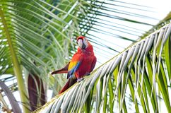 Scarlet Macaw. In a tree, Osa Peninsula,  Costa Rica Royalty Free Stock Image