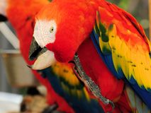 Scarlet Macaw scratching Stock Photo