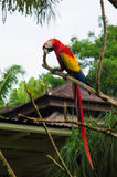 The scarlet macaw sitting on a branch Stock Image