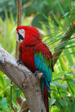 Scarlet Macaw Sitting on a Tree Branch Royalty Free Stock Image