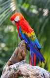 Scarlet Macaw sleep on timber Royalty Free Stock Photos
