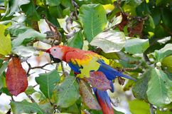 Scarlet Macaw. In a tree, Osa Peninsula,  Costa Rica Stock Images