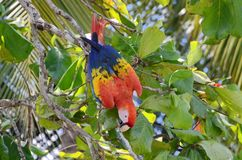 Scarlet Macaw in a tree. Osa Peninsula,  Costa Rica Stock Image