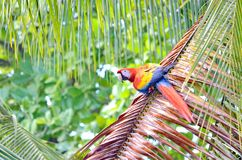 Scarlet Macaw. In a tree, Osa Peninsula,  Costa Rica Stock Image