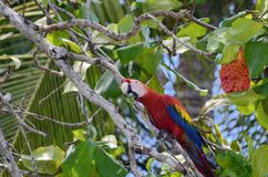 Scarlet Macaw. In a tree, Osa Peninsula,  Costa Rica Royalty Free Stock Photography