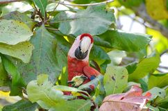 Scarlet Macaw in a tree. Osa Peninsula,  Costa Rica Royalty Free Stock Photo