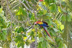 Scarlet Macaw in a tree. Osa Peninsula,  Costa Rica Stock Images