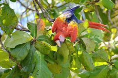 Scarlet Macaw in a tree. Osa Peninsula,  Costa Rica Royalty Free Stock Images