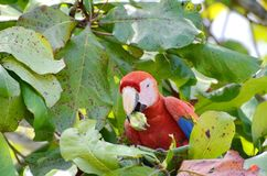 Scarlet Macaw in a tree. Osa Peninsula,  Costa Rica Stock Photography