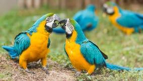 Scarlet macaw Royalty Free Stock Photos