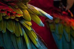 Scarlet Macaw Wing Tips Royalty Free Stock Images