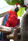 Scarlet Macaw In Zoo Enclosure Stock Images