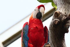 Scarlet Macaw In A Zoo Royalty Free Stock Photos