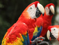Scarlet macaws feeding, Copan, Honduras Royalty Free Stock Photo