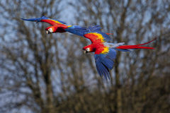 Scarlet Macaws in Flight Stock Photo